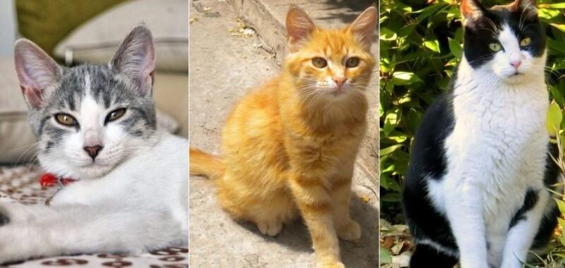 На фото Эгейская кошка популярных окрасов