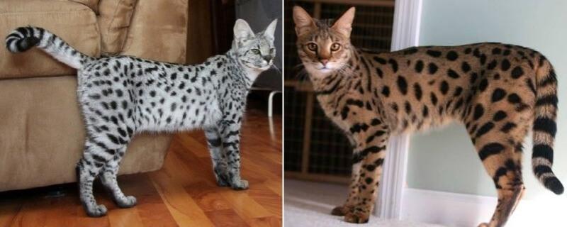 На фото кошка породы Ашера популярных окрасов