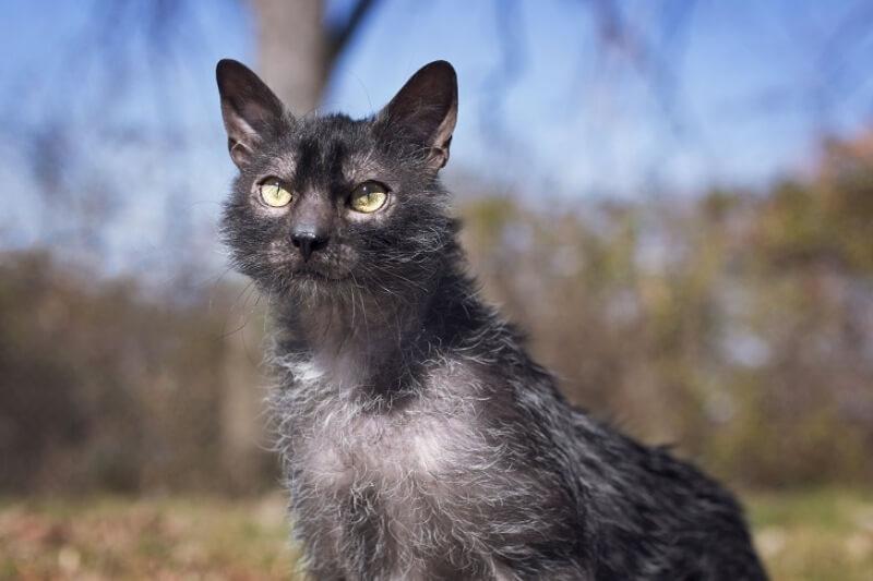 """На фото кот породы Ликой, окрас """"чалый"""""""