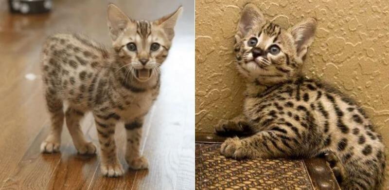 На фото котята породы Ашера (Саванна)