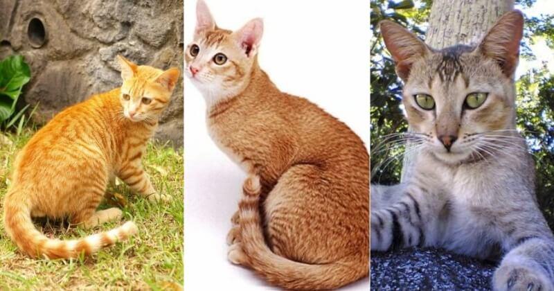 На фото Цейлонская порода кошек популярных окрасов