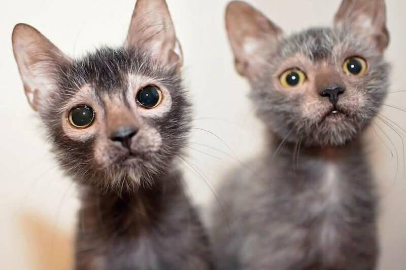 На фото котята породы Ликой