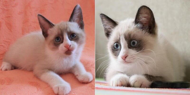 На фото котята породы Сноу-шу