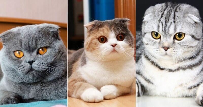 На фото кошки породы Скоттиш фолд (Шотландская вислоухая) популярных окрасов