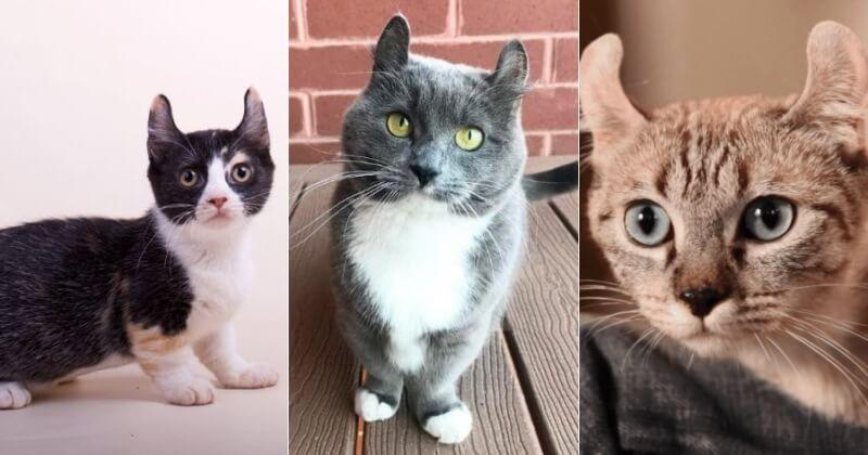 На фото кошки породы Кинкалоу популярных окрасов
