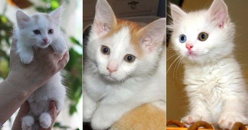 На фото  котята породы Турецкий ван