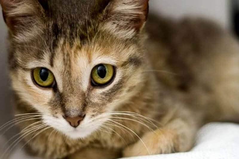 На фото котёнок Цейлонской породы