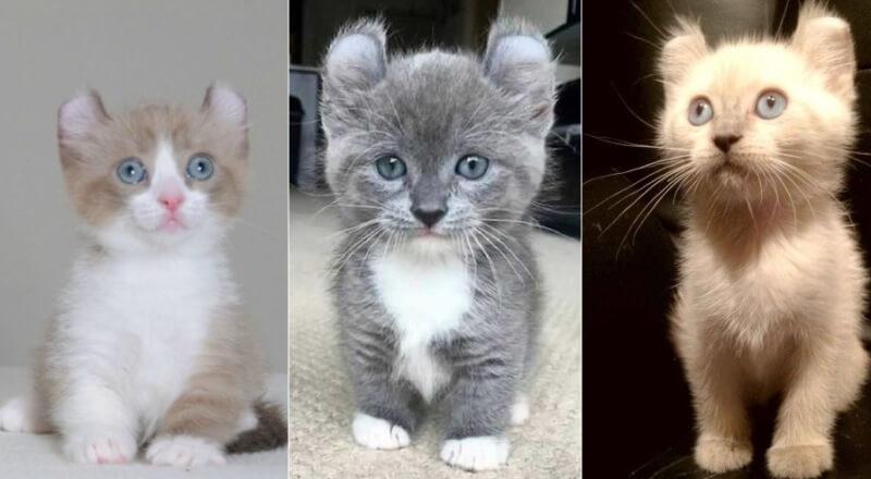 На фото котята породы Кинкалоу