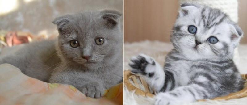 На фото котята породы Скоттиш фолд (Шотландская вислоухая)