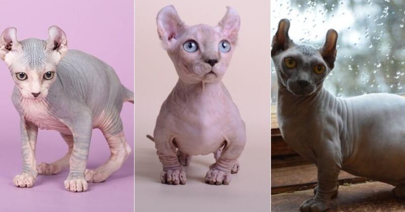 На фото кошки породы Двэльф популярных окрасов