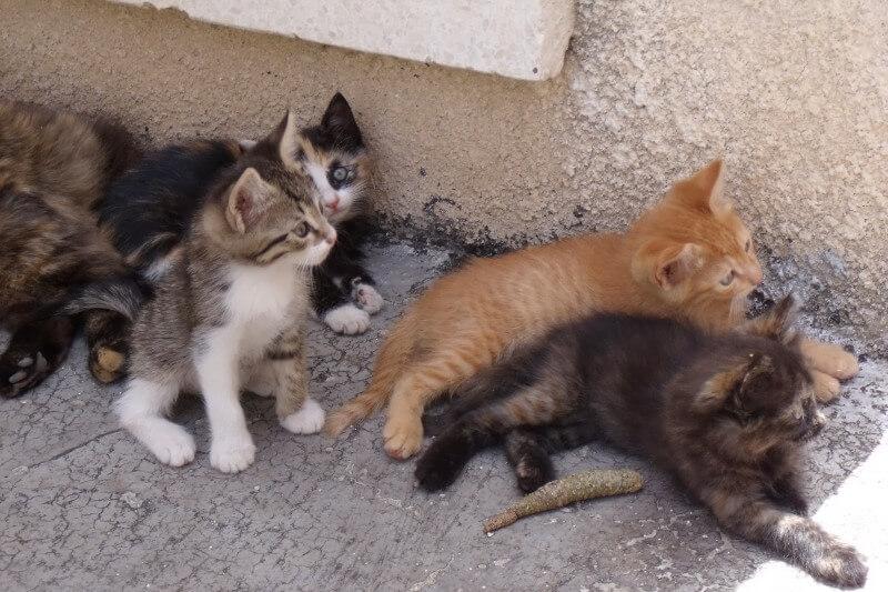 На фото котята Эгейской породы