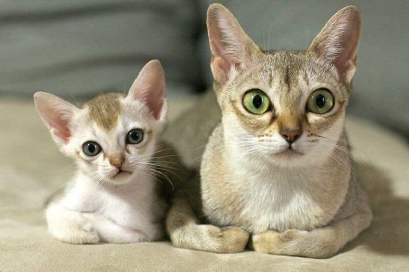 На фото сингапурская кошка-мама и её котёнок