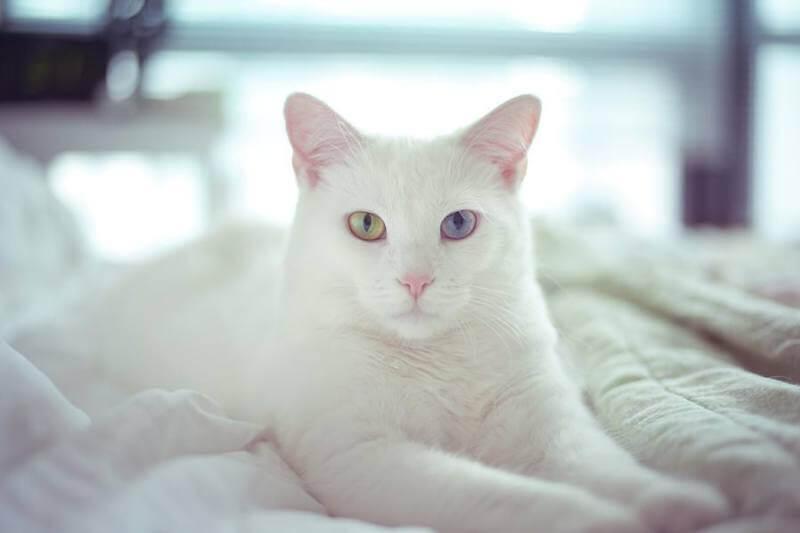 На фото кот породы Као мани