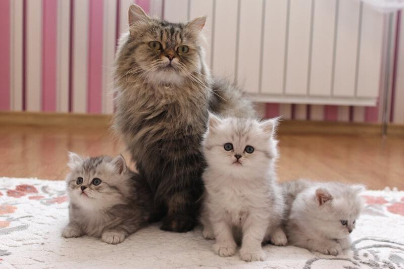 На фото британская длинношерстная кошка со своими котятами