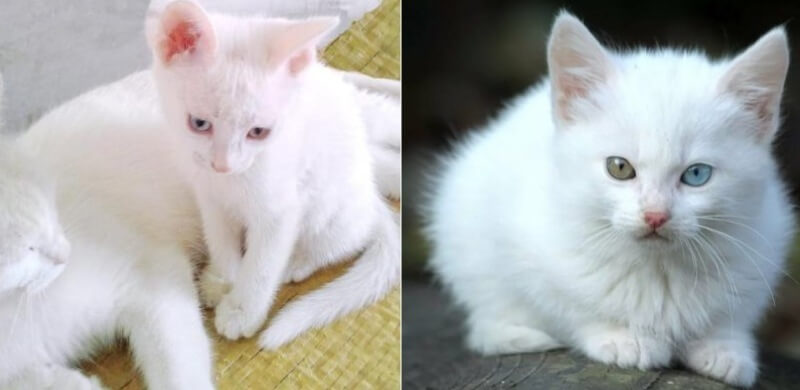 На фото котята породы Као мани
