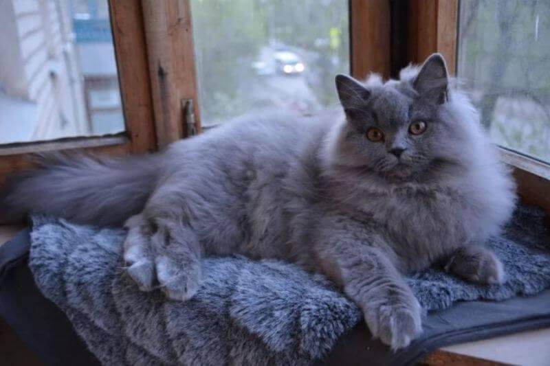 На фото британсий длинношёрстный кот в минуты отдыха