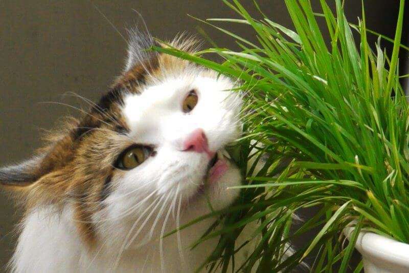 Какую траву и зачем едят кошки